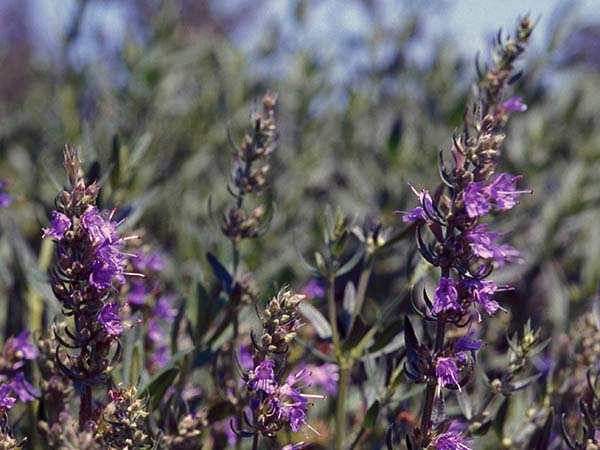 The Bible frequently uses the hyssop plant as a symbol of cleansing and pur