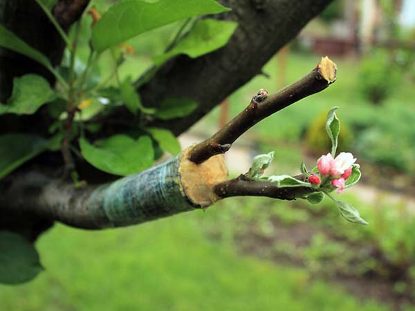 God's Word often employs the metaphor of grafting a branch into a rootstock